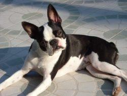 Boston Terrier : O Cão Que Só Tem Cara de Mau
