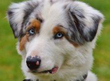 pastor-australiano-olhos-azuis