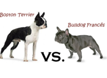 diferenca entre boston terrier bulldog frances