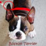 diferenca entre boston terrier _ bulldog frances_orelhas boston