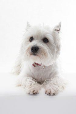 Westie Terrier a Raça do Famoso Comercial IG da TV