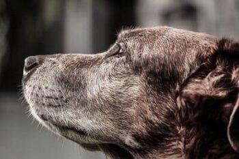 Cães Mais Velhos Podem Ser Educados?